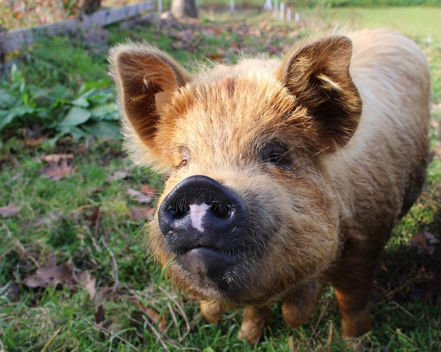 All About and How to Raise KuneKune Pot Belly Pigs