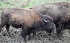 Meet the Bison
