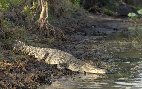 A saltwater crocodile on a riverbank in the northern territory of Australia. The photo was taken by Paul Thomsen (WILDFOTO.COM.AU).  Photo via Wikimedia Commons under Creative Commons license.