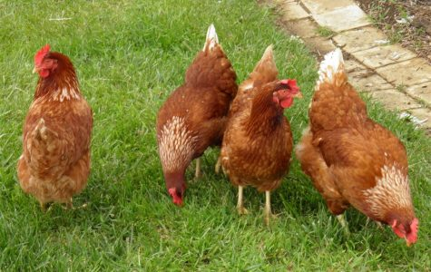 Cool Facts About Chickens