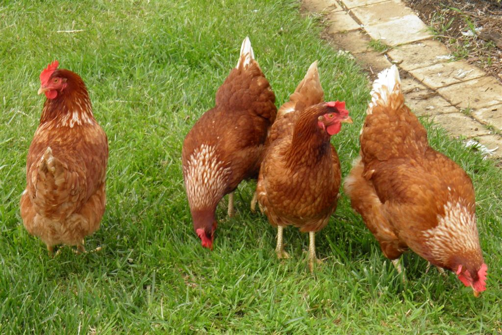 These chickens create the beautiful free range eggs that are served at Tranquilles Bed and Breakfast, Cafe and Gallery at Port Sorell, Tasmania. Photo via Wikimedia Commons under Creative Commons license.