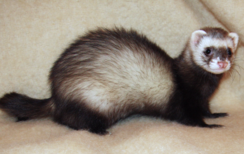 Ferrets: Your Furry Friend