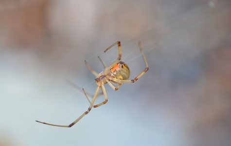 Invasive Arachnid Descends Upon Oregon