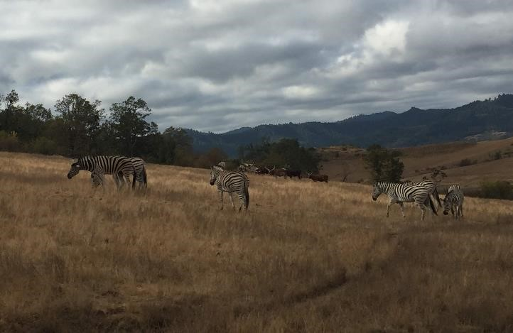 A group of zebras graze in the North Africa section of the Wildlife Safari drive through. (September 20, 2018)